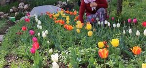 """Laleler çiçek açtı Hatay'da """"Çiçekler Doğanın Gülümseyişidir"""" adlı proje kapsamında eğitim gören kadın çiftçilere dağıtılan lale soğanları toprakla buluştuktan sonra ilk çiçeklerini açtı Kadın çiftçiler tarafından dikimi yapılan laleler hem çiçek olarak hem de hasat sonrası soğan olarak satılacak"""