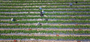 Hatay'da çilek hasadı başladı Ekim alanı 1 yılda bin dekardan 2 bin 500 dekara ulaşan çilekten bu yıl 7 bin ton rekolte bekleniyor