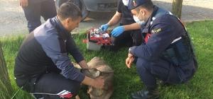 Aracın çarparak yaraladığı karaca Jandarma ekiplerince bulundu Veteriner tarafından tedavi edilen karaca Milli Parklar görevlilerine teslim edildi