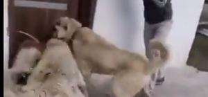 2 kangal cinsi köpeğe sokak köpeğini boğdurmaya çalışan kişiler gözaltına alındı
