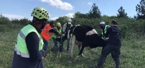 Otlamaya çıkan ineği doğurtmaya koştular