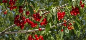 Gönüllüler meyve hasadına gidecek 432 gönüllü 150 üreticiye meyve hasadına gidiyor