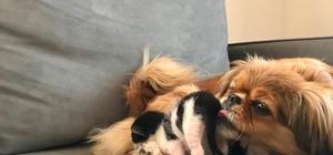 Mira isimli köpek, anneleri köpeklerin saldırısıyla ölen kedi yavrularına annelik yapıyor Mira isimli köpekten kedi yavrularına anne şevkati
