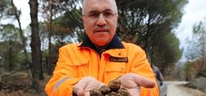 Kozak Yaylası'nda trüf keşfi Bergama'da 20 ha zengin doğal trüf alanı tespit edildi