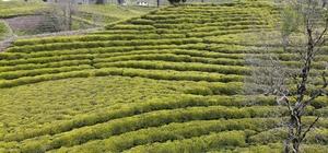 """Rizeliler yaş çay taban fiyatını beğendi Rizeliler yaş çay fiyatına tepkilerini """"Gönül daha çok ister ama bu şartlarda yapacak bir şey yok"""" diyerek gösterdi"""