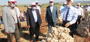 Kuru sarımsak hasadı başladı 14 Mayıs Dünya Çiftçiler Günü sarımsak tarlasında kutlandı