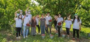Kemalpaşa'da kiraz hasadı devam ediyor Üretici de gönüllü de memnun