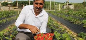 Terör bitti, Diyarbakır'da çiftçiler tarlaya indi Diyarbakır'ın Hazro ilçesinde organik çilek hasadına başlandı