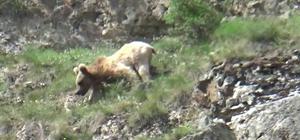Boz ayı su içmek için Çoruh vadisine indi