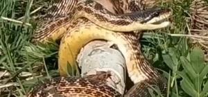 Bingöl'de görülen devasa yılan korkuttu