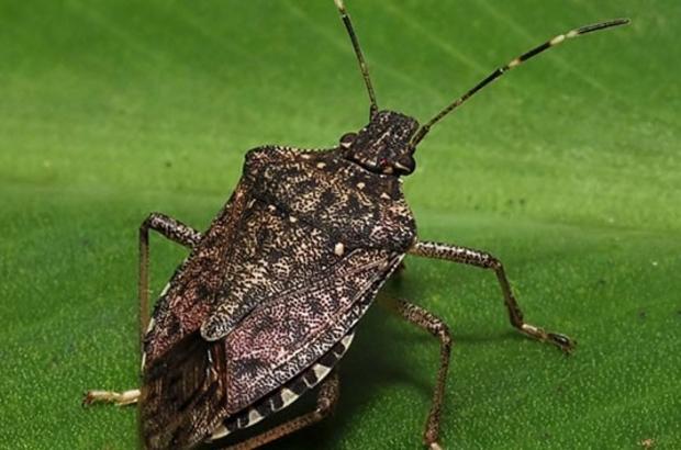 Tarımda kahverengi kokarca ile biyolojik mücadele Samuray Arıcığı denilen parazitör ithal edilerek mücadele başlatılacak