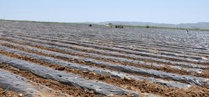 Bölgenin en büyük çilek bahçesi Gümüşhane'de kuruldu Köse ilçesinde 2 stadyum büyüklüğündeki alanda çilek bahçesi kuruldu İl genelinde 326 bin adet sertifikalı çilek fidesi dağıtıldı