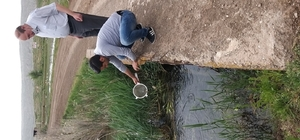 Sivav'ın gölleri balıklandırıldı Sivas'ta 15 göle 168 bin adet sazan yavrusu bırakıldı