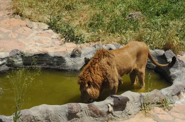 Hayvanat bahçesi sakinleri ziyaretçilerini özledi Avrupa'nın üçüncü dünyanın dördüncü büyük hayvanat bahçesi 70 gündür ziyaretçilere kapalı Gaziantep Hayvanat Bahçesi 1 Haziran'da yeniden ziyaretçi almayı planlıyor