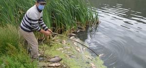 Bolu'da, su kirliliği yüzlerce balığı öldürdü Su kirliliği yüzünden yüzlerce ölü sazan balığı kıyıya vurdu