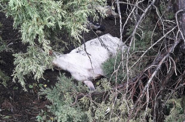 Tunceli'de kar 503 koyun ve kuzuyu telef etti
