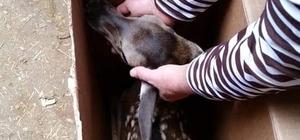 Bitkin halde bulunan kızıl geyik yavrusu yetkililere teslim edildi