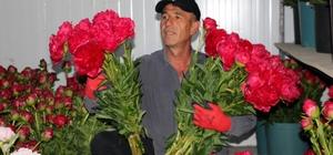 Yozgat'ta üretilen şakayık çiçekleri Romanya ve Azerbaycan'a ihraç ediliyor