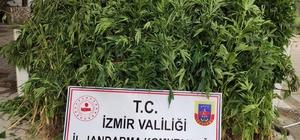 İzmir'de 757 kök hint keneviri ele geçirildi