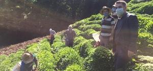 Korona virüse yakalanan köylülerinin çayını imece ile topladılar İl dışından Rize'nin Çayeli ilçesine çay toplamak için gelen şahsın Korona virüs testi pozitif çıkınca çayı, köy muhtarı öncülüğünde başlatılan imece ile toplandı