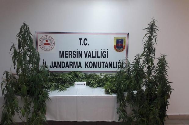 Tarsus'da 251 kök kenevir bitkisi ele geçirildi