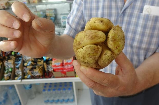 """Yumruk değil """"patates"""" Mersin'in Erdemli ilçesinde yumruğu andıran patates görüntüsüyle şaşırttı"""