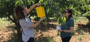 Sahiller gibi kiraz bahçelerinde de mavi bayrak dönemi başlıyor 16 kiraz üreticisinden hasat öncesi numune alındı Kiraz ağaçlarında entegre ve kontrollü ürün yönetimi