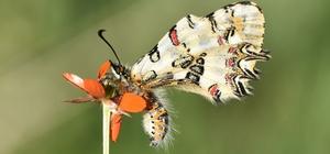 """(Özel) Van Gölü Havzası'ndaki kelebek türleri kayıt altına alınıyor BEÜ Öğretim Görevlisi Oktay Subaşı: """"Türkiye'de bulunan 400 kelebek türünden 230'u Van Gölü Havzası'nda uçuyor"""" """"Van Gölü Havzası'nda bulunan en değerli kelebek türleri; 'Romanov Gelinciği', 'Step Fistosu', 'Zegris' ve 'Rozenin Çokgözlüsü'dür"""""""