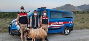 Hayvan hırsızlarına suçüstü Kahramanmaraş'ın Afşin ilçesi Esence mahallesinden küçükbaş hayvan çalan 7 şüpheli, suçüstü yakalandı
