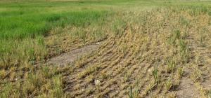 Çiftçilere çekirge mücadelesi ve sarı cücelik virüsü uyarısı