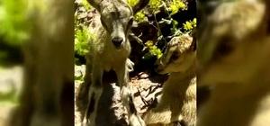 Yavru dağ keçilerine poğaça ikramı