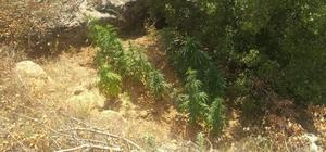 İzmir'de bir arazide Hint keneviri tespit edildi