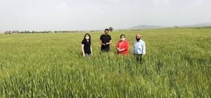 Aslanapa tarımında hububat zararı tesbit ediliyor