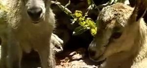 Tunceli'de yeni doğmuş dağ keçileri görüntülendi