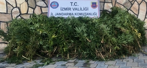 İzmir'de uyuşturucu operasyonu: 203 kök Hint keneviri ele geçirildi