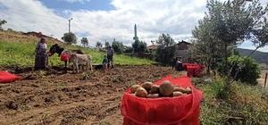 İzmir'de eşekle patates hasadı