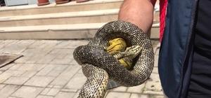 Niksar'da bir işyeri önünde yakalanan yılan doğaya salındı