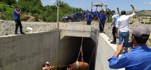 Su kanalına düşen inek kurtarıldı