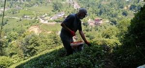Çay üreticileri bu kez gübreleme için çay bahçesine girdi Çay tarımında Korona virüs sürecinde ertelenen gübreleme işlemi 1. sürgün sonrası başladı