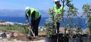 Sakız üretimi artık Yunanistan'ın elinden alınıyor Sakız ana yurduna dönüyor, hem fidanlar hem umutlar yeşeriyor