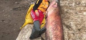 2 buçuk metre boyundaki 110 kiloluk balık görenleri hayrete düşürdü