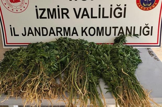 Evinin bahçesinde ekili kenevir ele geçirildi