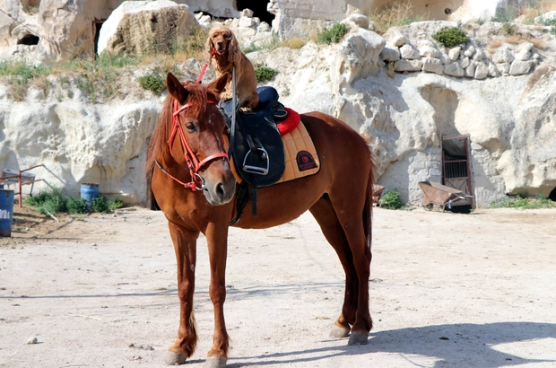 Köpeğin at üzerinde Kapadokya keyfi Atını süren kovboy Bu köpeğin en büyük zevki ata binerek gezmek