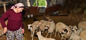 Güzelbahçeli kadın üreticinin başarı öyküsü Üç koyun ve bir koçla yola çıktı, kısa sürede bir sürünün sahibi oldu