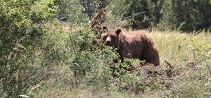 Kiraz yemeye gelen ayı tel örgüye takıldı Uyutulup takıldığı tel örgüden kurtarılarak kepçe ile taşınan ayı ormanlık alana salındı Kütahya Doğa Koruma ve Milli Parklar Şubesi ekipler ayı ayılıp uzaklaşıncaya kadar ormanda başını beklediler