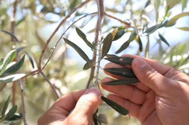 Milas'ta çiftçilere 'zeytin sineği ve halkalı leke' uyarısı