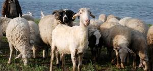 Yaylalarda koyun kırkma sezonu başladı
