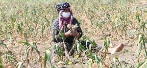550 kişinin yaşadığı köyde her yıl yaklaşık 250 ton sarımsak üretiliyor Isparta'da sarımsak hasadı başladı