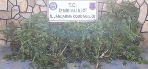 İzmir'de 108 kök kenevir bitkisi ele geçirildi