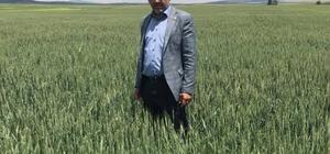 Altıntaş'ta buğday üretiminde böcek alarmı